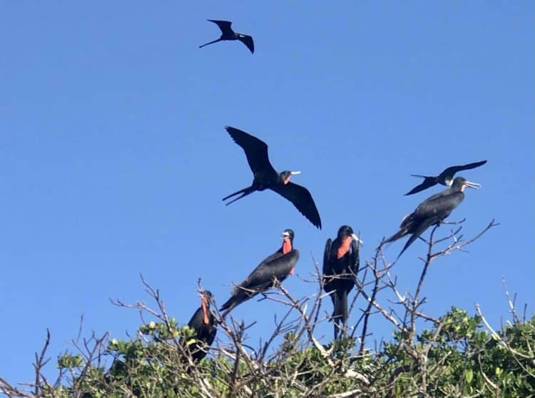 Anna Maria Island: Things to do include kayaking to see wildlife. These are magnificent frigate birds in breeding plumage.