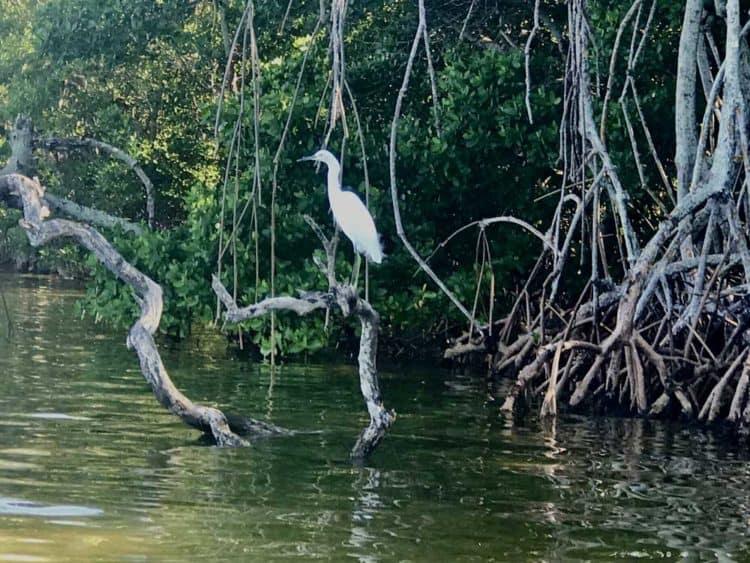 Egret along the shore at Emerson Point Preserve in Palmetto.