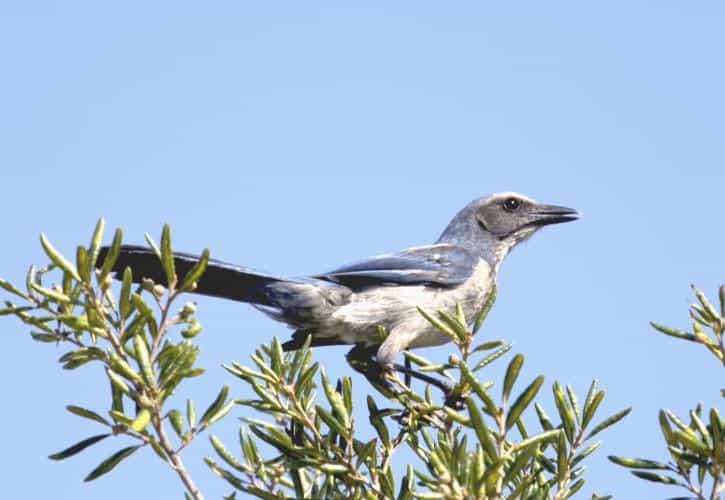 Florida Scrub jay Jim Upchurch Ancient oaks caress the soul at Highlands Hammock