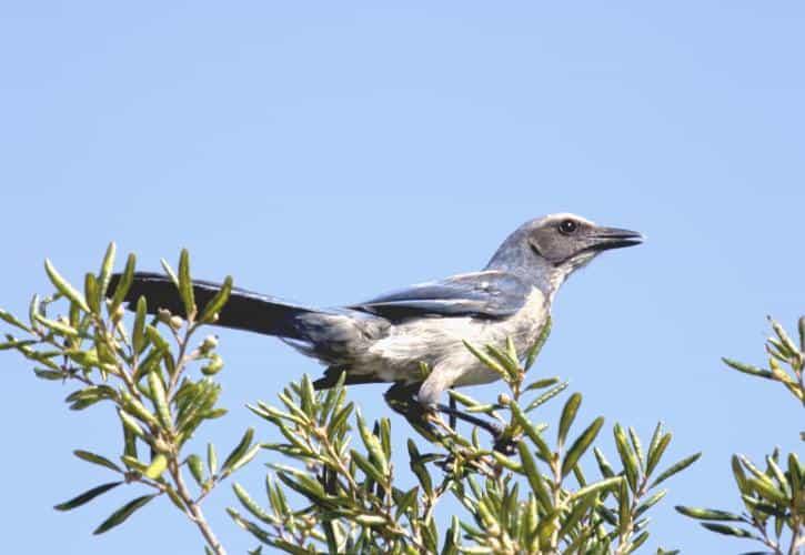 Florida Scrub jay Jim Upchurch Ancient oaks caress the soul at Highlands Hammock