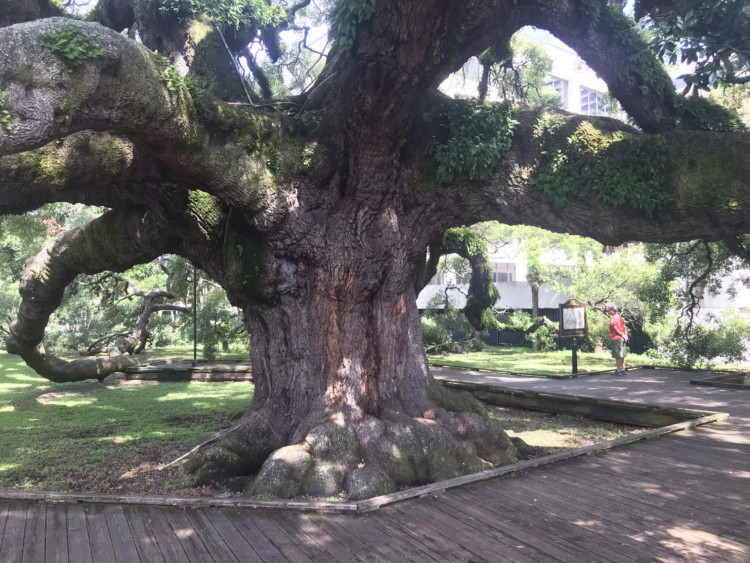 Visiting Jacksonville: Across the St. Johns River from the Riverside Avondale Park historic district is Jessie Ball duPont Park, home of the Treaty Oak, a huge sprawling ancient live oak tree .(Photo: David Blasco)