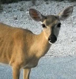 Key deer, No Name Key, Florida Keys