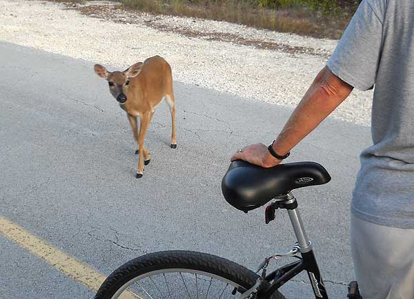 Key deer approached bike, No Name Key, Forida Keys