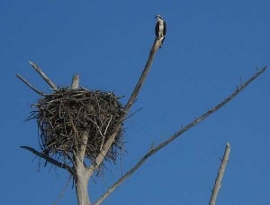 Lovers Key osprey nest