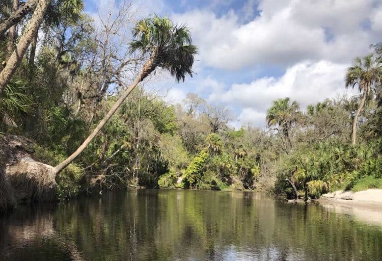 A rope swing hanging from a palm tree along the Upper Manatee River suggests this is a popular place for summertime swimming. (Photo: Bonnie Gross)