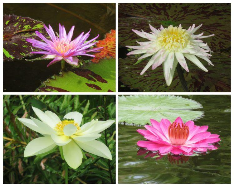 McKee Botanical Garden has hundreds of water lily plants, including 80 varieties. Peak bloom time in Florida is in June.