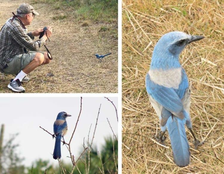 Merritt Island scrub jay mo Merritt Island National Wildlife Refuge: Birds and beauty galore