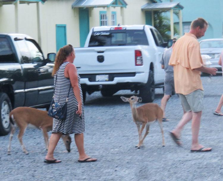 Key Deer in the parking lot at No Name Pub on Big Pine Key. (Photo: David Blasco)