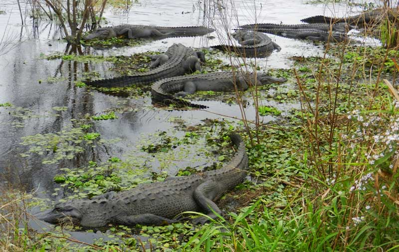 Paynes Prairie Preserve State Park near Gainesville: The La Chua Trail is also popular with alligators. (Photo: Bonnie Gross)