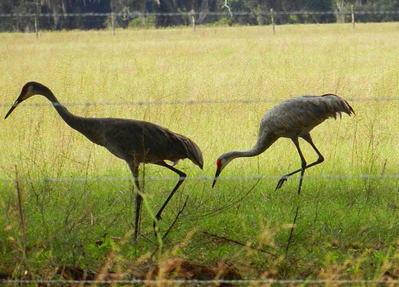 Sandhill cranes at Paynes Prairie Preserve State Park near Gainesville.