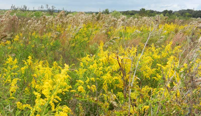 Wildflowers in Paynes Prairie Preserve State Park near Gainesville.