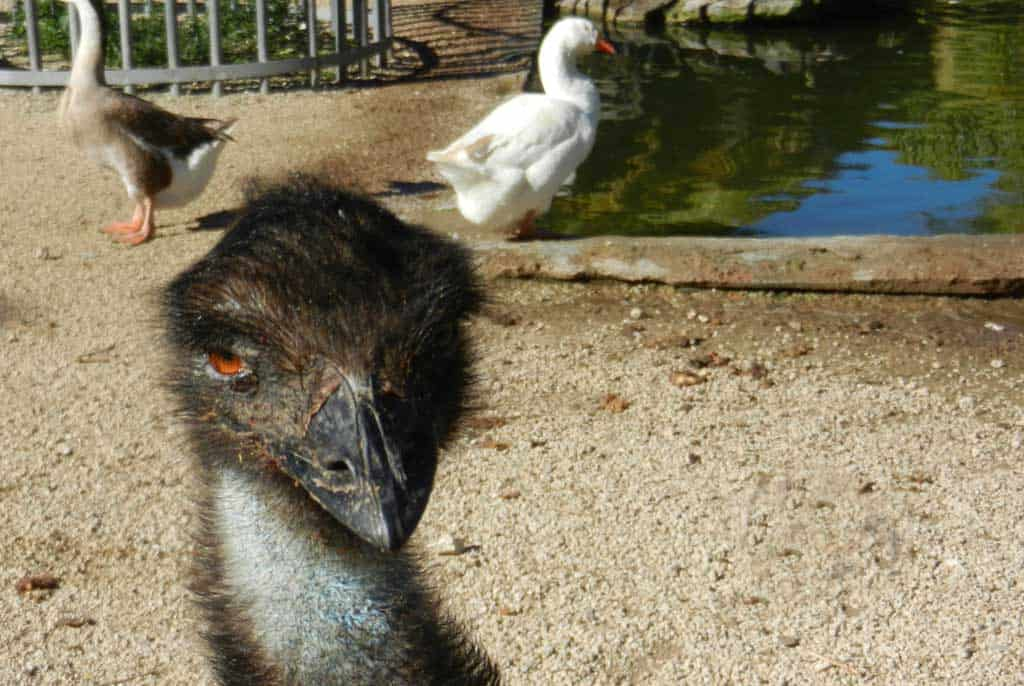 Behind the store, Robert Is Here has a collection of animals including emus