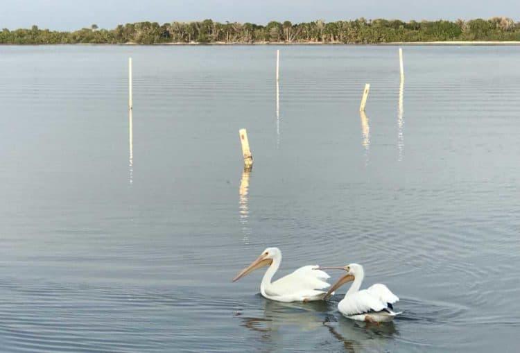 White pelican in the Mosquito Lagoon in Oak Hill, Florida. (Photo: Bonnie Gross)