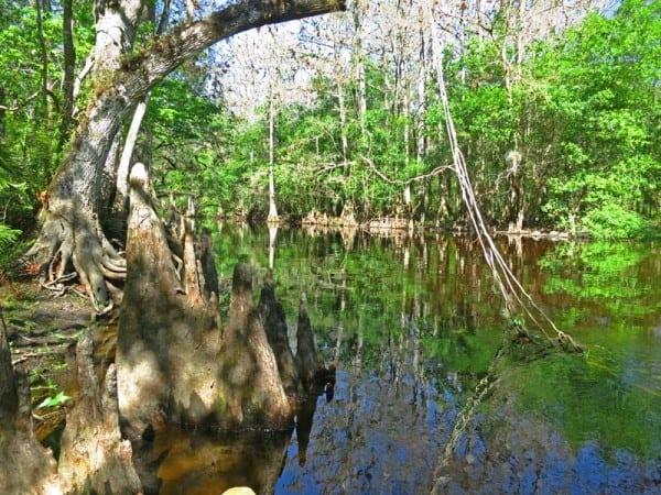 Cypress knees on Arbuckle Creek FL