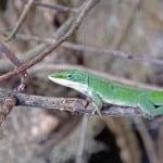 lizard at lake ashby