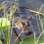 Lake Ashby alligator