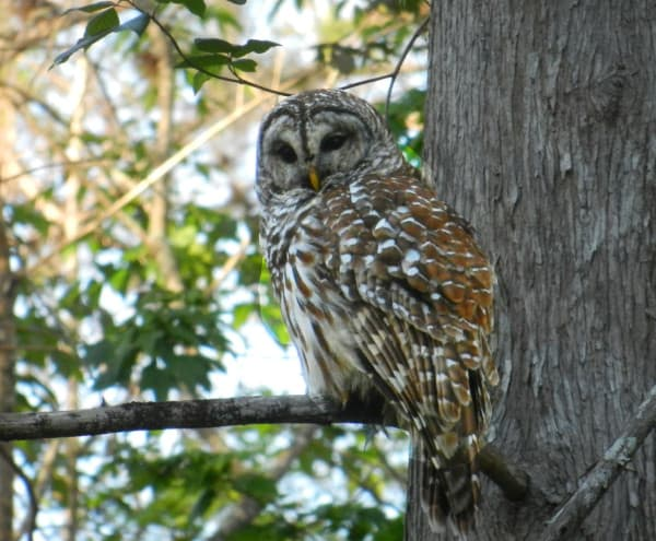 This barred owl at Arbunkle Creek FL swiveled his head to follow us as we paddled under his tree.