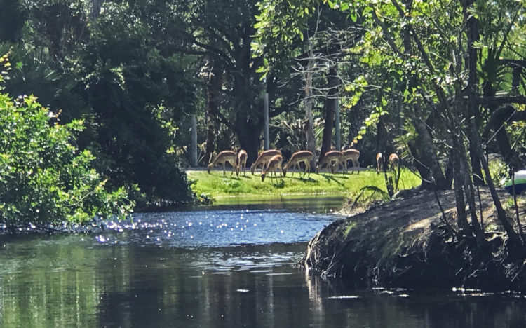 Brevard Zoo kayaking tour goes past a herd of impalas grazing along twaterway. (Photo: Bonnie Gross)