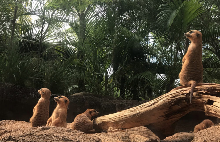 Brevard Zoo: The meerkats were viewable from a variety of windows, including some created at kids-eye-level. (Photo: Bonnie Gross)