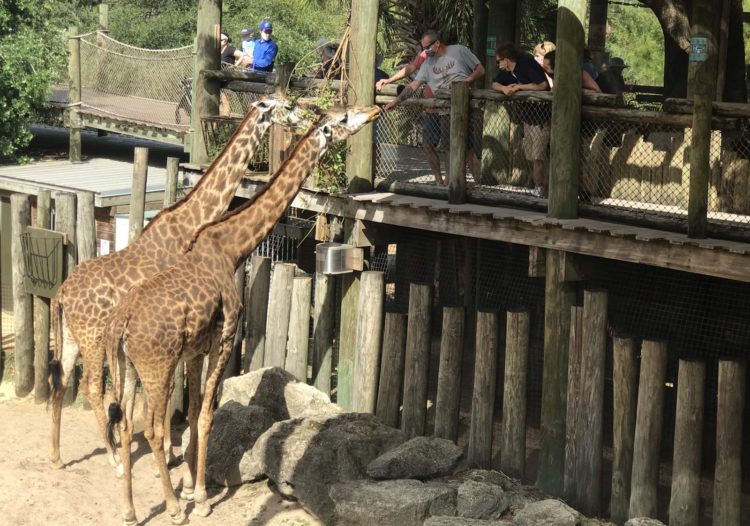 Brevard Zoo giraffe exhibit allows visitors to be up close and personal with the giraffes. (Photo: Bonnie Gross)