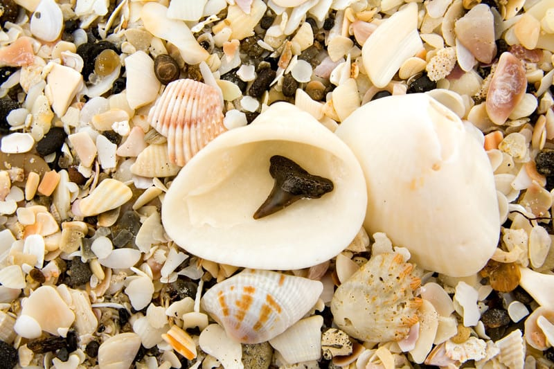 shark's tooth with shells