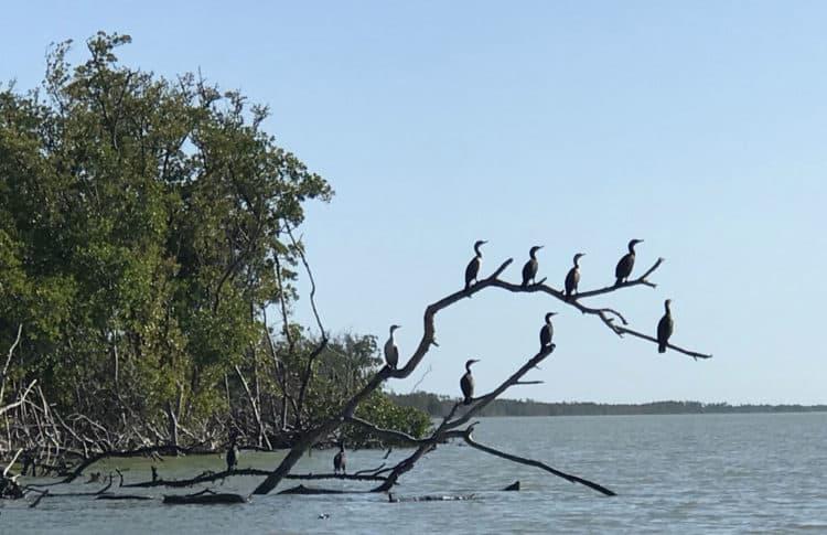 Padding to Cape Sable: Cormorants were plentiful; birds and wildlife abounds. (Photo: Bonnie Gross)