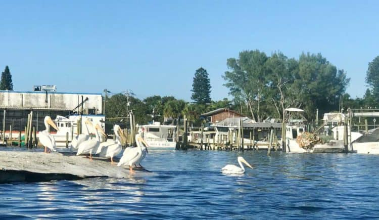 Anna Maria Island: Things to do include visiting Cortez, a fishing village where white pelicans hang out in a funky harbor full of fishing boats.