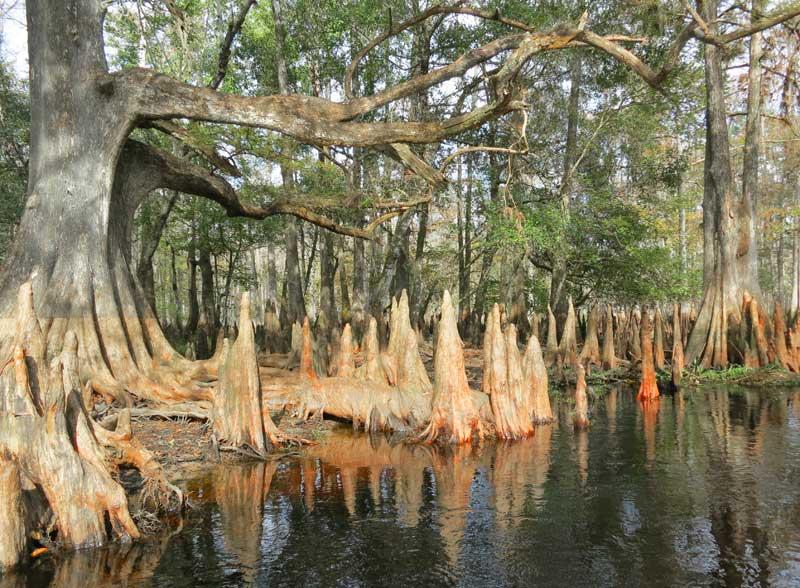 Cypress knees along Fisheating Creek near Lake Okeechobee. (Photo: Bonnie Gross)