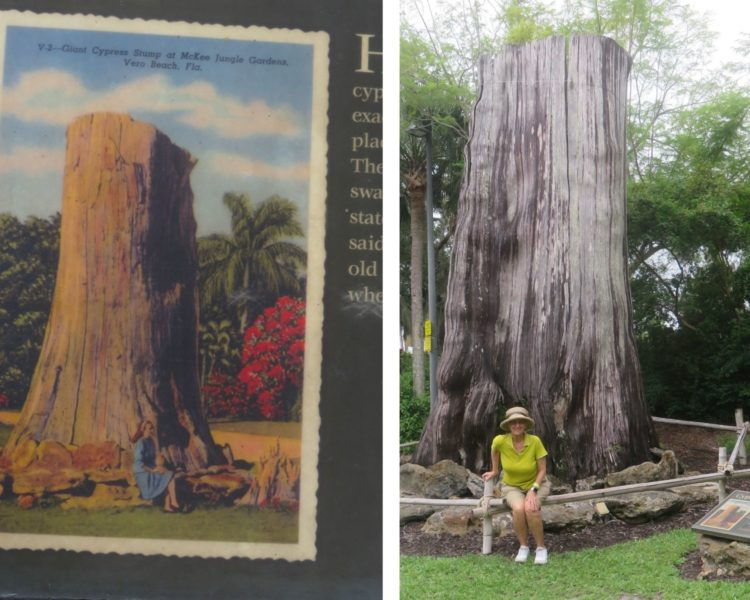 This cypress stump at McKee Botanic Garden was brought to the site in the 1930s and is reputed to be 2000 years old. (Photo: David Blasco)