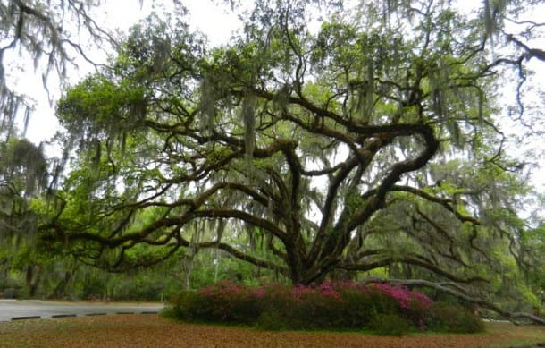 Ponce De Leon Springs State Park: Live oak tree and azaleas in spring
