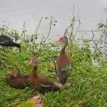 ducks at wakodahatchee