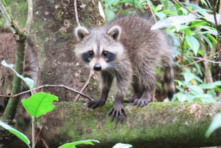 A raccoon meets our eyes along the boardwalk at Fern Forest Preserve in Broward County. (Photo: Bonnie Gross)