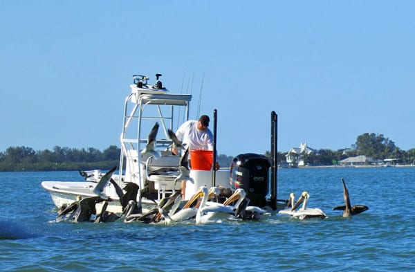 Fisherman attracts both rarer white pelicans and more common brown pelicans in Gasparilla Sound. We watched the birds gather while kayaking in Charlotte Harbor.