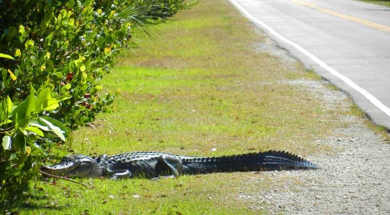 gator cropped Loop Road: Storied road through Everglades is full of wildlife