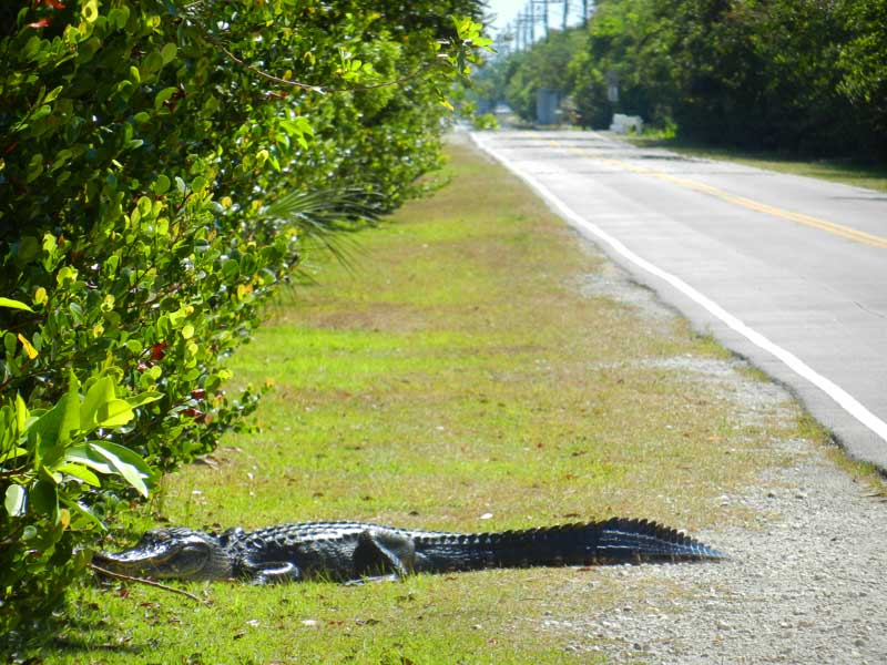 This gator sauntered across Loop Road in Big Cypress Preserve as we unloaded our bikes one April day. (Photo: David Blasco)