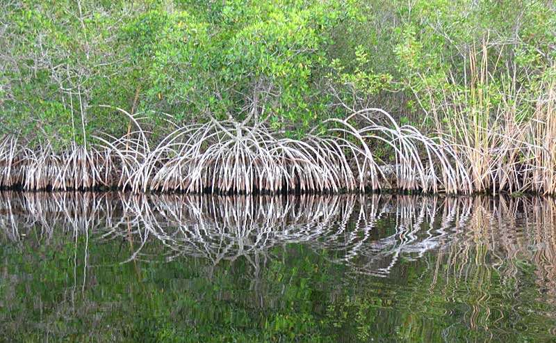 Mangroves along Halfway Creek, Everglades National Park, off the Tamiami Trail.