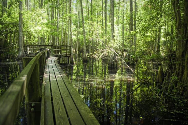 highlands hammock boardwalk Ancient oaks caress the soul at Highlands Hammock