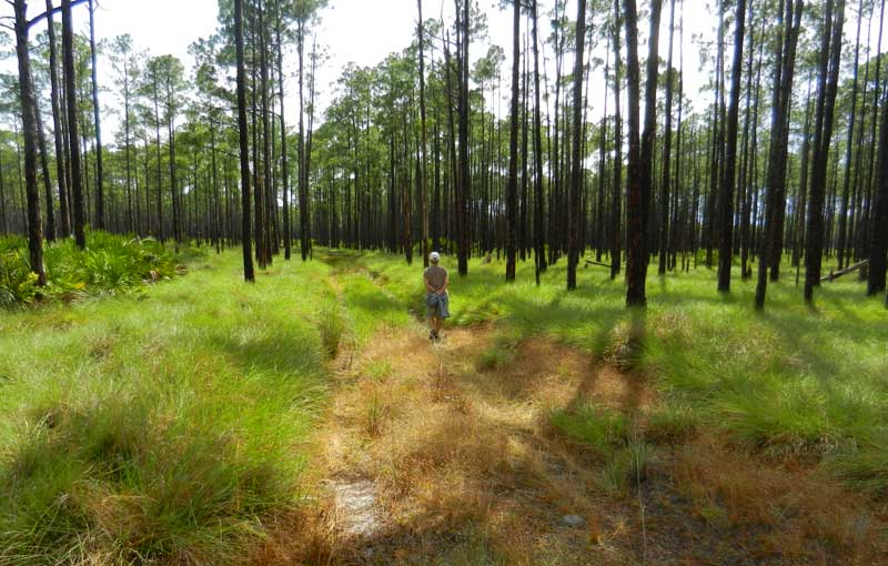 A hiking trail in the Arbuckle Tract at Lake Wales Ridge State Forest. (Photo: David Blasco)