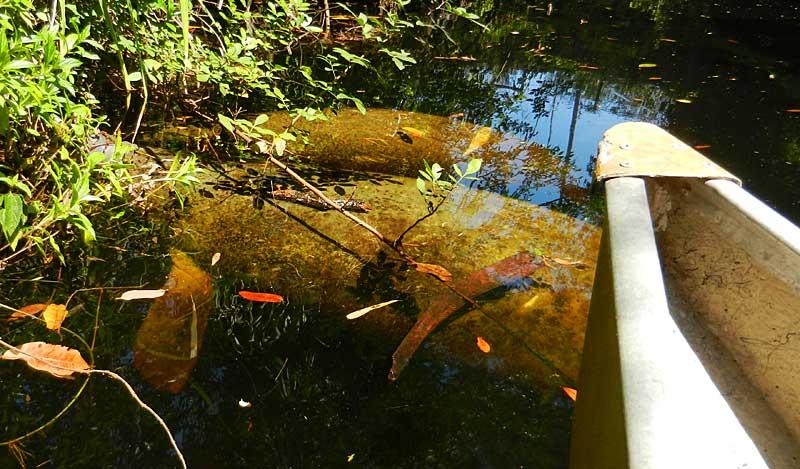 Manatee closeup Imperial River Bonita Springs