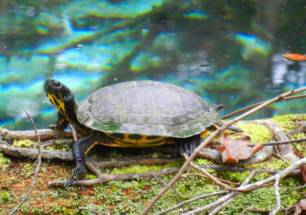 Turtles are among the plentiful wildlife at Juniper Spring. (Photo: Bonnie Gross)