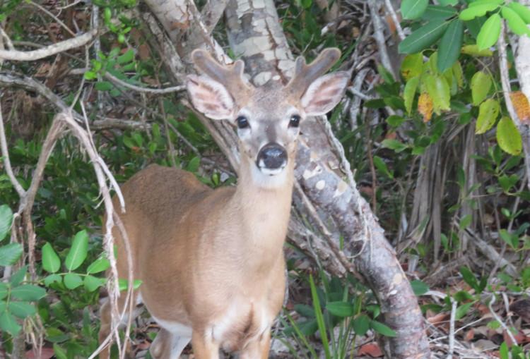 A Key deer with antlers emerging on No Name Key. (Photo: David Blasco)
