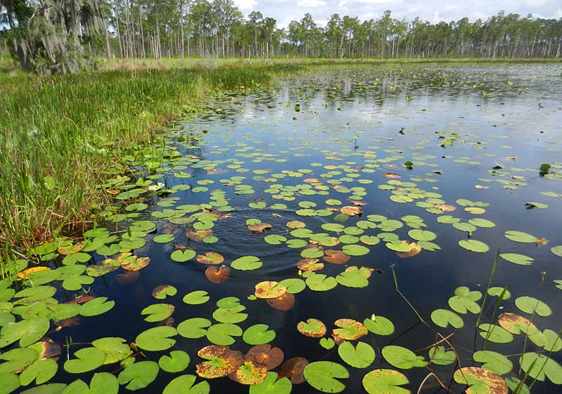 Lily Pads on Lake Godwin in Lake Wales Ridge State Forest