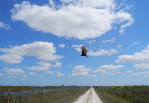 Vulture sweeps the skies at the Loxahatchee National Wildlife Refuge