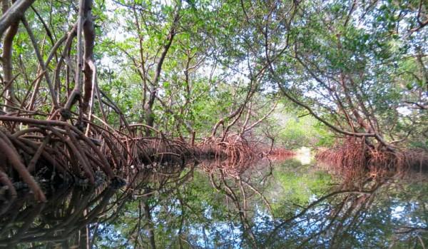 Mangrove tunnels on the Woolverton Trail near Punta Gorda for  Charlotte Harbor kayaking . (Photo: Bonnie Gross)