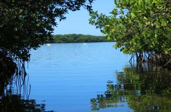 Punta Gorda sea kayaking: White pelicans and mangrove mazes