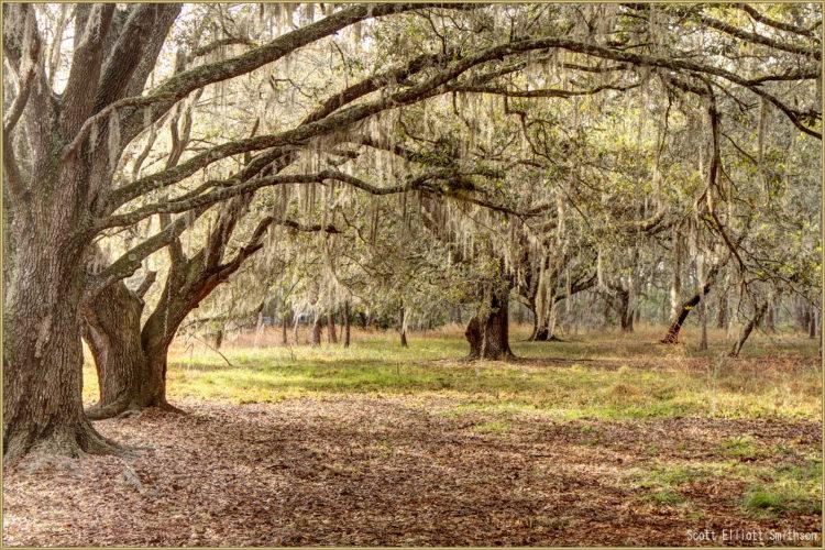 Moss Park oaks.