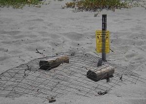 Florida beaches: Sea turtle nest at John U. Lloyd State Park, Dania Beach, Florida
