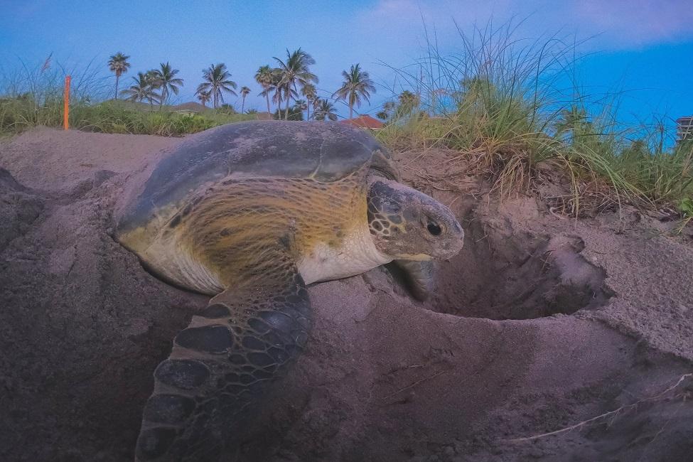 An adult female green sea turtle nesting on Juno Beach, Florida. (Photo: Jennifer Reilly)