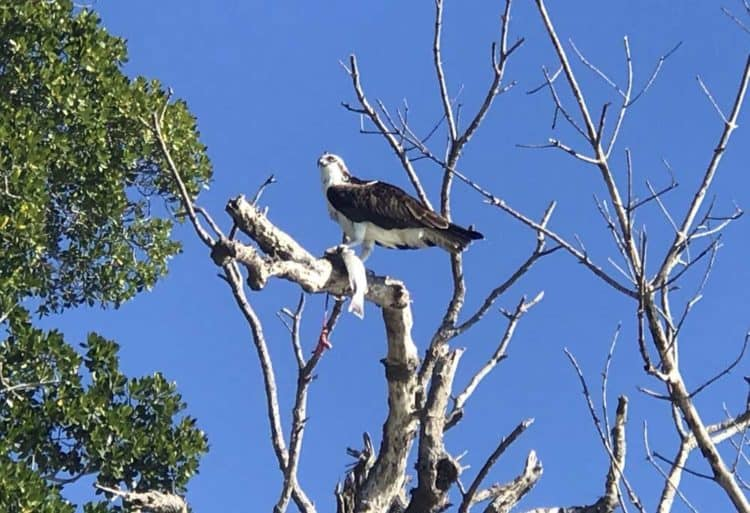 osprey cabe sable Fabulous Florida wilderness camping: Paddling Flamingo to Cape Sable