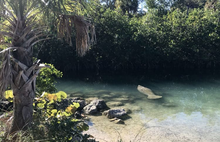 The lagoon on Peanut Island is popular with manatees in the winter. On a January afternoon, we watched two loll around peacefully. (Photo: Bonnie Gross)